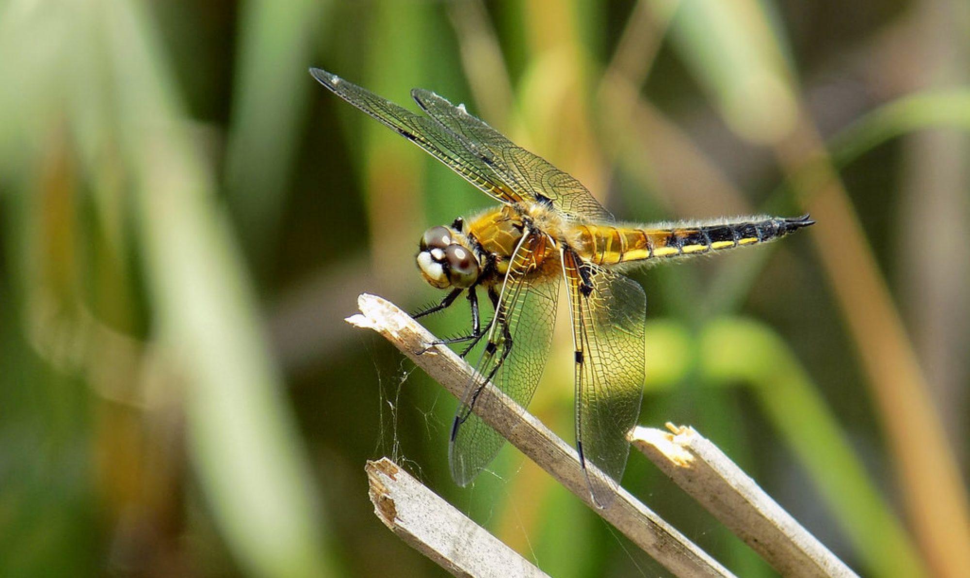 Dragonflyeye